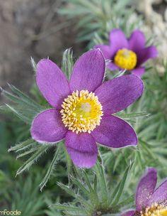Pasque Flower #garden #flowers #gardening