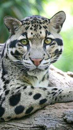 Our list of big cats includes common names, scientific names, subspecies and conservation status of the top wild cats on the planet. List Of Big Cats, Nature Animals, Animals And Pets, Beautiful Cats, Animals Beautiful, Cute Baby Animals, Funny Animals, Gato Grande, Clouded Leopard