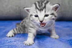 A gray kitten meowing.