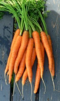 Scarlet Nantes Carrot : 68 days. Scarlet Nantes is a  carrot with bright orange, slightly tapered, 6 inch roots; crisp, tender and flavorful; standard for high quality carrots.