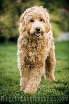 Australian Labradoodles in red, apricot, cream, and chocolate