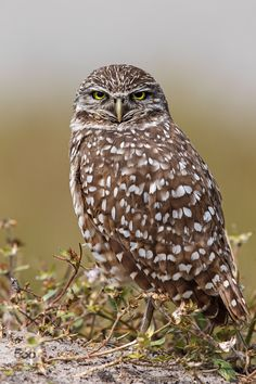 Little Owl by info2595. Please Like http://fb.me/go4photos and Follow @go4fotos Thank You. :-)
