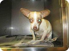 EUTH. LISTED!!! This poor chihuahua is at: Shelter: North Central Animal Care Center - Los Angeles Animal Services Pet ID #: A1555941 Phone: (888) 452-7381 ext.141 Address: 3201 Lacy Street Los Angeles, CA 90031 https://www.facebook.com/photo.php?fbid=660154620781612&set=pb.100003612410268.-2207520000.1432842622.&type=3&theater