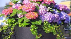 25 Hydrangea Flower Pot and Planter Arrangements (PHOTOS) - Home Stratosphere Hydrangea Potted, Hydrangea Flower, White Hydrangeas, Potted Flowers, White Planters, Flower Planters, Pretty Flowers, Purple Flowers, Hydrangeas