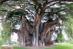 It's called tule tree and it is the tree by the largest diameter in the world: 11 meters!  The Majestic Cypress Montezuma is located in Mexico and it is a symbol for the whole country