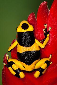 Bumblebee Poison Frog (Dendrobates Leucomelas) on red leaf ~ © by Ken Koskela