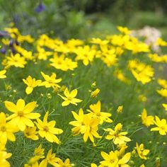 Coreopsis  Coreopsis is a long-blooming summer perennial flower. 'Zagreb' threadleaf coreaopsis, shown here, has fine feathery foliage, and spreads to make an effective sun-loving groundcover in heavy clay soil.  Name: Coreopsis selections  Zones: 3-9