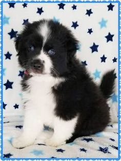 Miniature Australian Shepherd puppy for sale in PHOENIX, AZ. ADN-41829 on PuppyFinder.com Gender: Male. Age: 7 Weeks Old