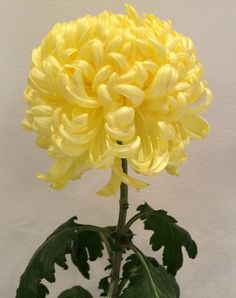 """""""King's Pleasure"""" Grown by Ron Hedin. Photographed by Pat Stockett Johnston"""
