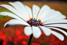 Daisy+(Osteospermum+fruticosum)