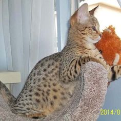 Client Brag Page Savanna Cat, Savannah Kitten, Spotted Cat, Exotic Cats, Serval, Maine Coon, Cat Breeds, I Love Cats, Cats And Kittens