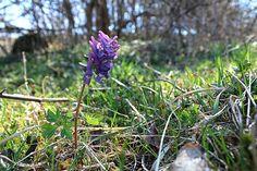 Lila tavaszi virág