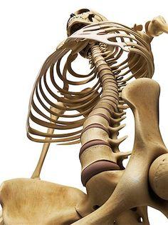 Rib cage low angle Stock Photos - Page 1 : Masterfile Human Anatomy Drawing, Human Body Anatomy, Anatomy Study, Anatomy Art, Anatomy Reference, Art Reference Poses, Human Skeleton Anatomy, Human Anatomy For Artists, Anatomy Sculpture