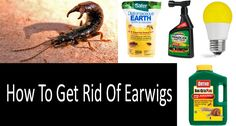 Below you will find out how to get rid of earwigs, what scientists recommend for earwig control and how to kill earwigs effectively. Look at a review of high rated products on Amazon.com.