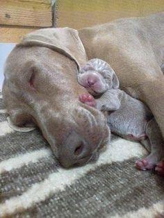 Weimaraner Mom with newborn.. I'm so inlove!! :)