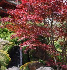 Anese Maple Tea Garden Golden Gate Park Holly Herndon Bay Area Trees