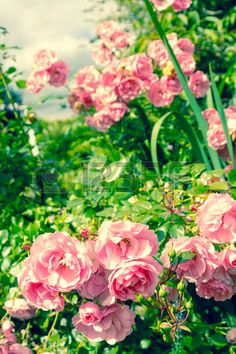 Lovely pink climbing roses Stock Photo