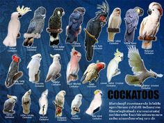 Different types of Cockatoos. I would love to have a Goffin.