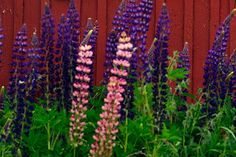 Det finns mängder av växter som är direkt olämpliga för våra trädgårdar. Kruxet är att ingen varnar för dem. Trädgårdsböcker och plantskolor målar upp en drömvärld, anser tre växtkännare som SvD har talat med.