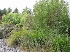 Native Plantings. New Zealand Plants. NZLANDSCAPES.COM. Photo. Auckland Landscapers NZ.