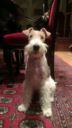 Bela fox terrier posing -and doing it very nicely !