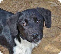 Hagerstown, MD - Brittany/Labrador Retriever Mix. Meet Kirkland B, a puppy for adoption. http://www.adoptapet.com/pet/17824945-hagerstown-maryland-brittany-mix