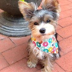 I am ready for yappy hour 🍸  -  Sporting handcrafted threads by @pupsofthunder! Reversible and snapable 👌🏼#pupsofthunderwear  _  #jacksonbale #fruitloops #thirstythursday #yappyhour #summer #yorkie #partiyorkie #yorkshire #terrier #yorkshireterrier #yorkiesofficial #yorkienation #yorkiemom #dogmom #love #cute #puppy #dogs #sweet #puppylove #yorkieworld #dogsofig #dcdogs #washingtonian #pets #dcist #unitedpawsgroup #woofpackbros