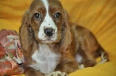 ROWDY: Cavalier King Charles Spaniel, Dog; Smithfield, PA