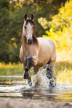 Beautiful Buckskin colored horse pawing the water in river. (92) Simply Horses - Photos
