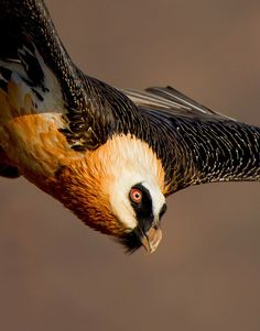 ༻✿༺ ❤️ ༻✿༺ The Bearded Vulture (Gypaetus Barbatus), also known as the Lammergeier or Lammergeyer, is a bird of prey. It lives and breeds on crags in high mountains in southern Europe, Africa and India. ༻✿༺ ❤️ ༻✿༺