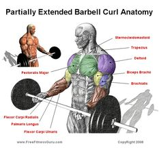 barbell curl anatomy