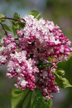 Gardening.....and Rochester's Lilac Festival each May