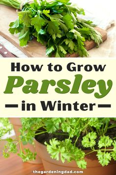 Learn how to grow parsley during winter this year. Tips include how to grow parsley from seed, in pots, indoors, along with tips on caring, harvesting, and uses! It's the perfect winter gardening activity. #parsley #herbs #gardening