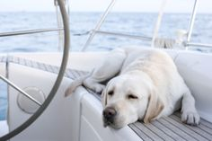 The Best Things About Owning A Labrador Retriever - TownandCountryMag.com