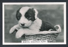 Bobtail Sheepdog Puppy from series Dogs by Senior Service Cigarettes card #43