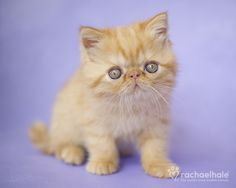 Garfield (Persian) - Let me be the soft spot in your heart (pic by Rachael Hale)