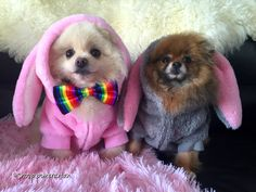 Pomeranian Easter bunnies