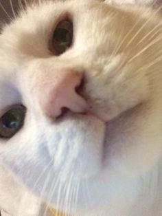 Animals And Pets, Funny Animals, Cute Animals, Funny Cat Memes, Funny Cats, Kittens Cutest, Cats And Kittens, Dumb Cats, Cat Nose