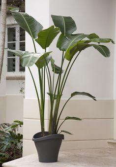 While not a palm, this showy plant has large bright green leaves that look lush and lovely in an indoor setting—just as palms do. A South African native, bird of paradise is also called the crane flower. The large exotic bananalike leaves top slender stems; the plant assumes an upright growth habit, so it can fit into tall narrow spots and can grow up to 18 feet tall! Botanic name: Stelitzia Nicolai Care tip: Allow the soil of this plant to dry between waterings.