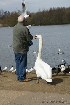 Feed the birds.... by Charmian S Berry - My husband feeding the birds at Needham Lake - they are very hungry in this cold weather and the Swan didnt want to be left out!