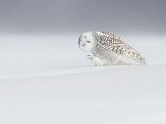 A snowy owl appears to fight against the elements during extreme weather conditions near Quebec City, Canada