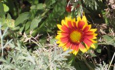 a lone daisy. Shasta or Gerber?