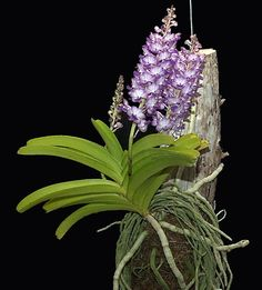 Rhynchostylis coelestis - Orchid Forum by The Orchid Source