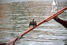Lying calmly in a rabelo boat mast while stretching its dark brown wings, this cute duck couldn't be happier.