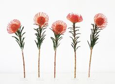 The Protea - Pincushion! Protea Art, Protea Flower, Botanical Illustration, Botanical Prints, Australian Flowers, Journaling, Nature Sketch, Tattoo Set, Flower Tattoos