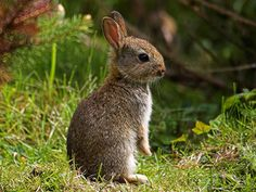 I have a wild small rabbit just like this in my garden right now- lucky no vegies growing!