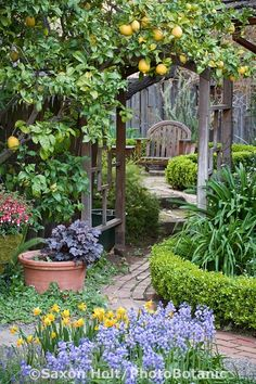 Rosalind Creasy Garden. California. Citrus growing on arbor trellis over path leading to secret garden. Spring bulbs, heuchera and fuschias in planters, small manicured lemon thyme hedge as green edging. Saxon Holt Photography/PhotoBotanic Garden Library.