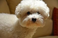 """Bichon love-I think I would name it """"Cotton"""" :)"""