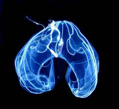 This Jellyfish looks like an x-ray of a human lung system!