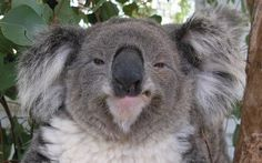 Koalas are perpetually drunk